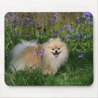 Pomeranian Standing Looking at Camera Mouse Pad