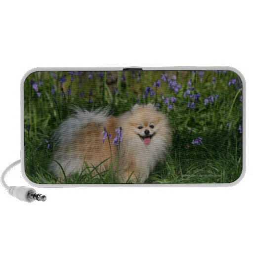 Pomeranian Standing Looking at Camera Laptop Speakers