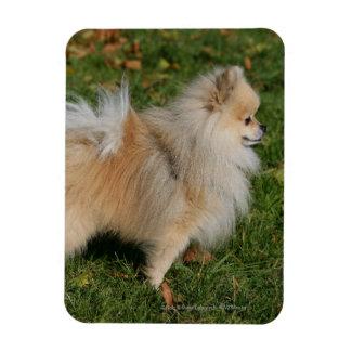 Pomeranian Standing Magnet