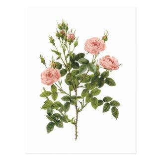 pompon rose (Rosa pomponia) by Redouté Postcard