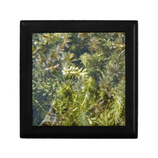 """Pond Weed (or, """"Lush Pond Plantlife"""") Gift Boxes"""
