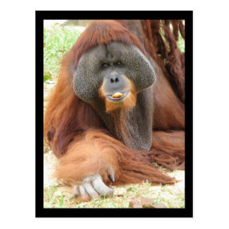 Pongo Orangutan Ape Postcard