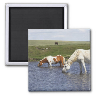 Ponies At Watering Hole Square Magnet