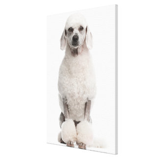 Poodle (1 year old) canvas print