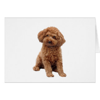 Poodle - Apricot (Toy or Min.) Card