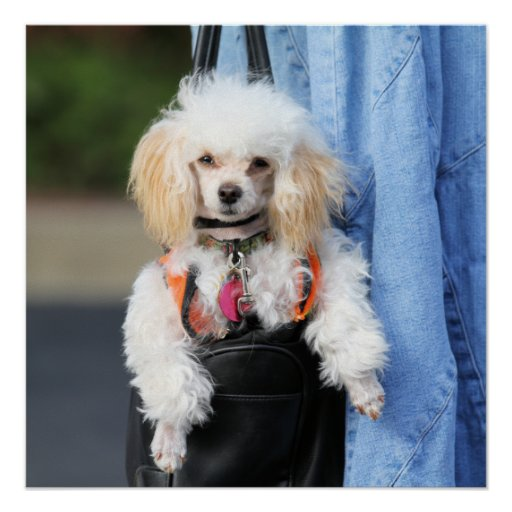 Poodle Day - Hanging Around on a Lazy Day Poster