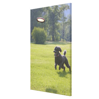 Poodle playing frisbee canvas print