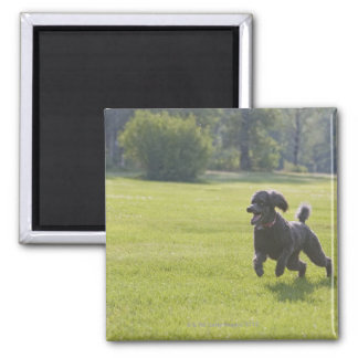 Poodle playing frisbee square magnet