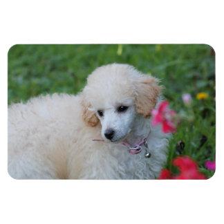 Poodle  puppy 4x6 photo magnet