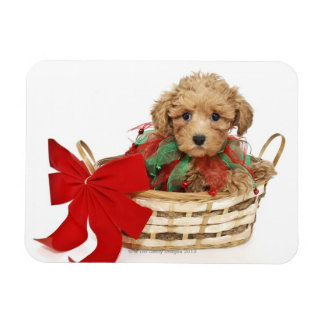 Poodle puppy sitting in Christmas basket Magnet