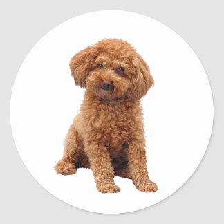 Poodle - Toy (Apricot) Round Sticker