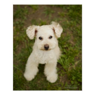 Poodle (white) poster