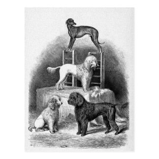 """Poodles and a Whippet"" Postcard"