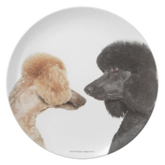 Poodles examining each other plate