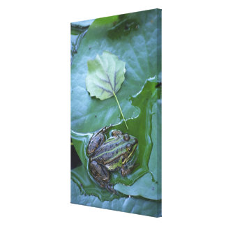 Pool Frog, Amperauen, Germany Canvas Print