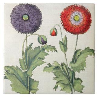 Poppies: 1.Papaver flore multiplici incarnato; 2.P Tile