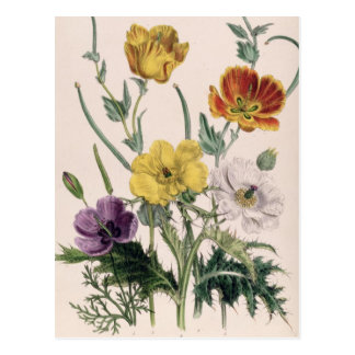 Poppies and Anemones Postcard