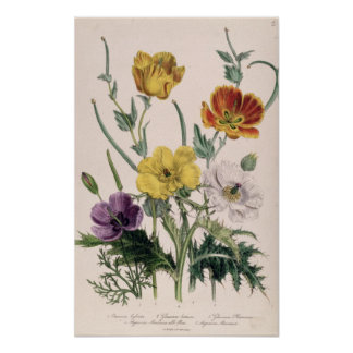 Poppies and Anemones Poster