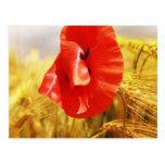 Poppies in the cornfield postkarte