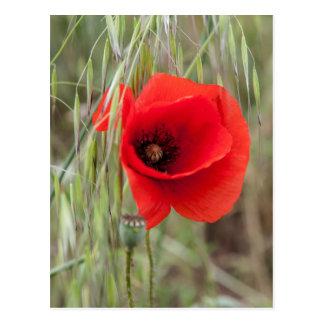 poppies in the garden postcard