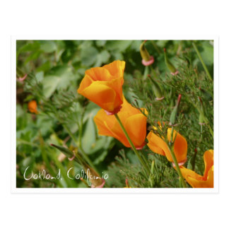 poppies, Oakland, California Postcard