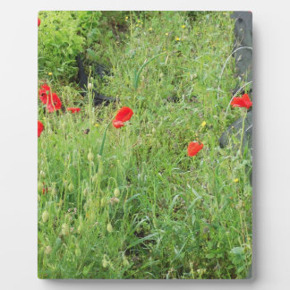 Poppies overgrowing on allotment plaque