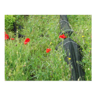 Poppies overgrowing on allotment postcard