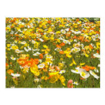 Poppies Post Cards