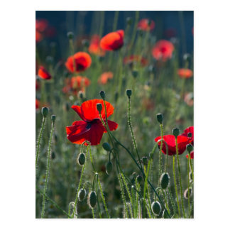 Poppies Postcard