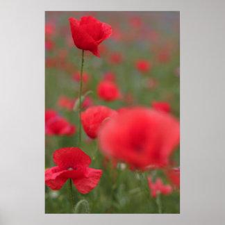 Poppy 2012 27 print