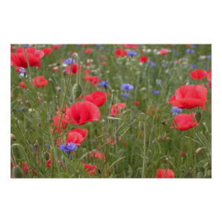 Poppy 2012 32 posters