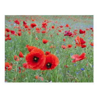 Poppy field in Vernon. Postcard
