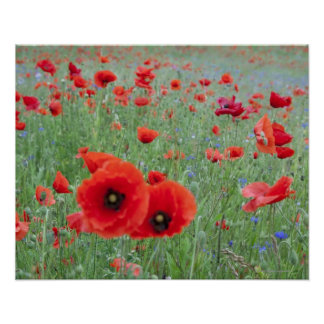 Poppy field in Vernon. Poster