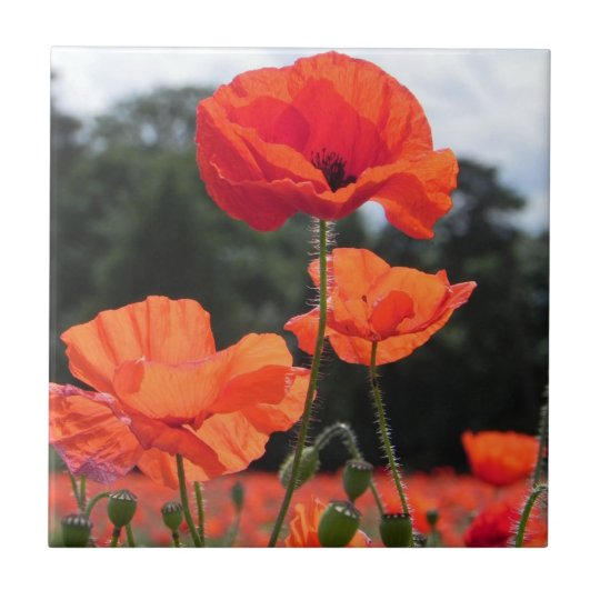 Poppy Field, Rosy Tangerine Flowers Small Square Tile