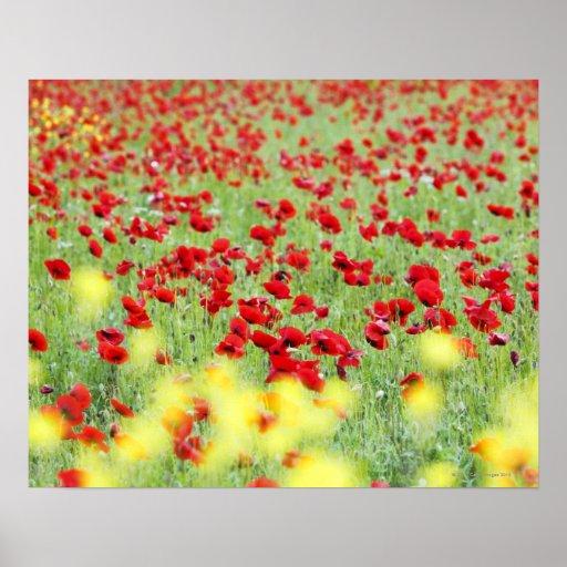 Poppy Field, Siena, Italy Print
