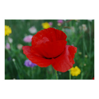 Poppy flower and meaning poster