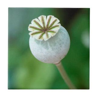 Poppy Flower Head Seed, Western Cape Tile