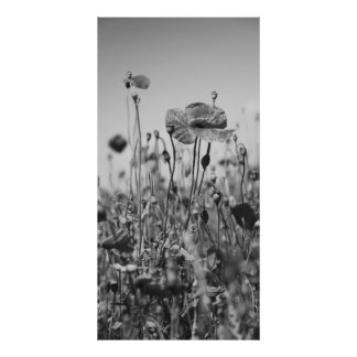 Poppy flowers black Weis Poster