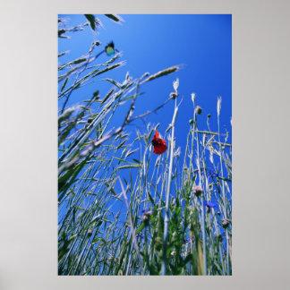 Poppy in the corn field 2012 posters