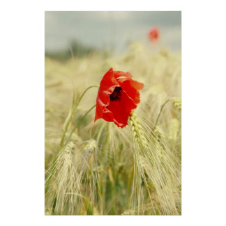 Poppy in the corn field poster