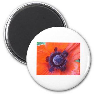 poppy oriental red poppy refrigerator magnet