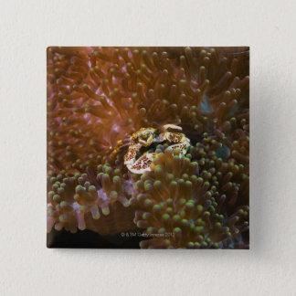 Porcelain crab in sea anemones, North Sulawesi 15 Cm Square Badge