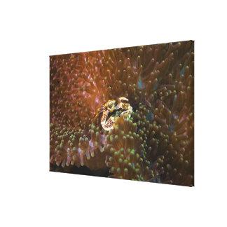 Porcelain crab in sea anemones, North Sulawesi Canvas Print