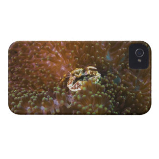 Porcelain crab in sea anemones, North Sulawesi iPhone 4 Covers