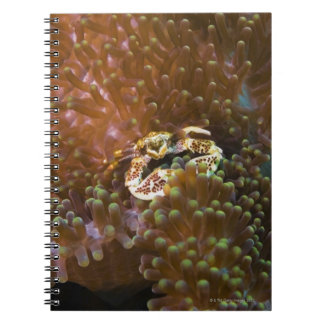 Porcelain crab in sea anemones, North Sulawesi Notebook