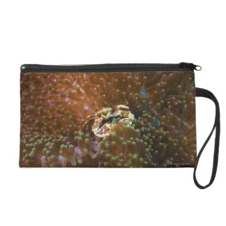 Porcelain crab in sea anemones, North Sulawesi Wristlet Clutches