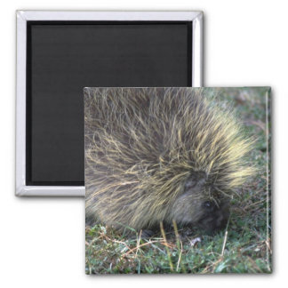 Porcupine Foraging Square Magnet