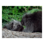 Porcupine - Mum and Baby