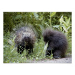 porcupines posters