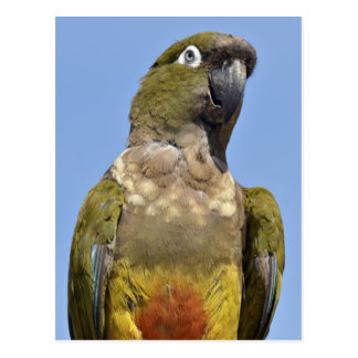Portrait Burrowing Parrot Postcards